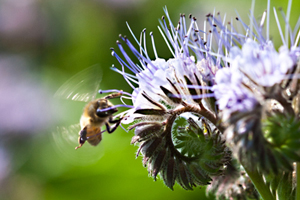 A honey-bee checks lacy phacelia flowers for nectar, De Groene Luwte's garden